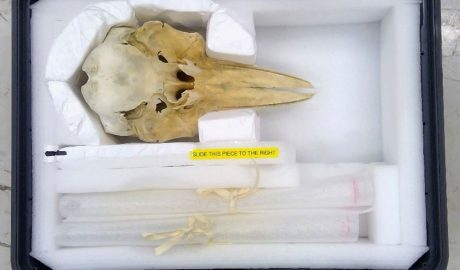 Dolphin skull safely nestled in a special carry-case