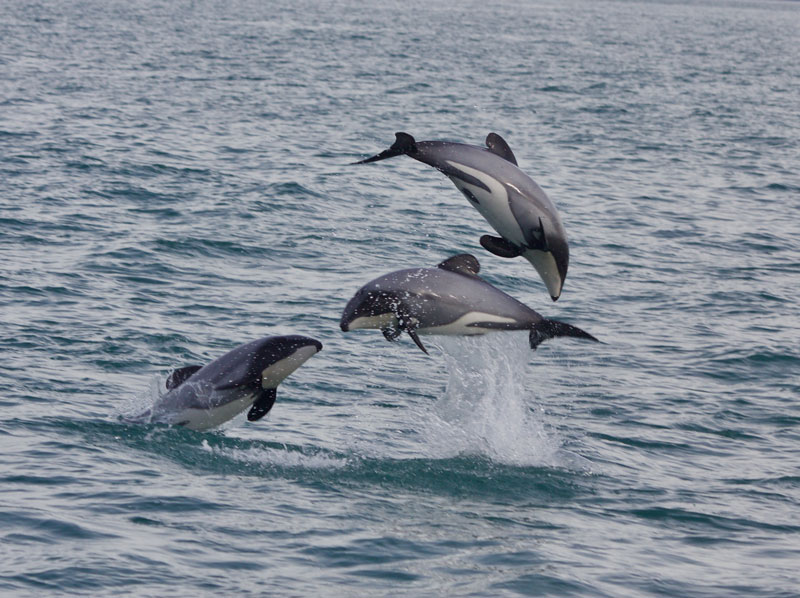 three dolphins jumping in the sea