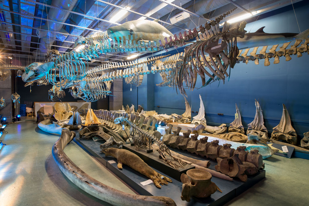 Whale and dolphin skeletons