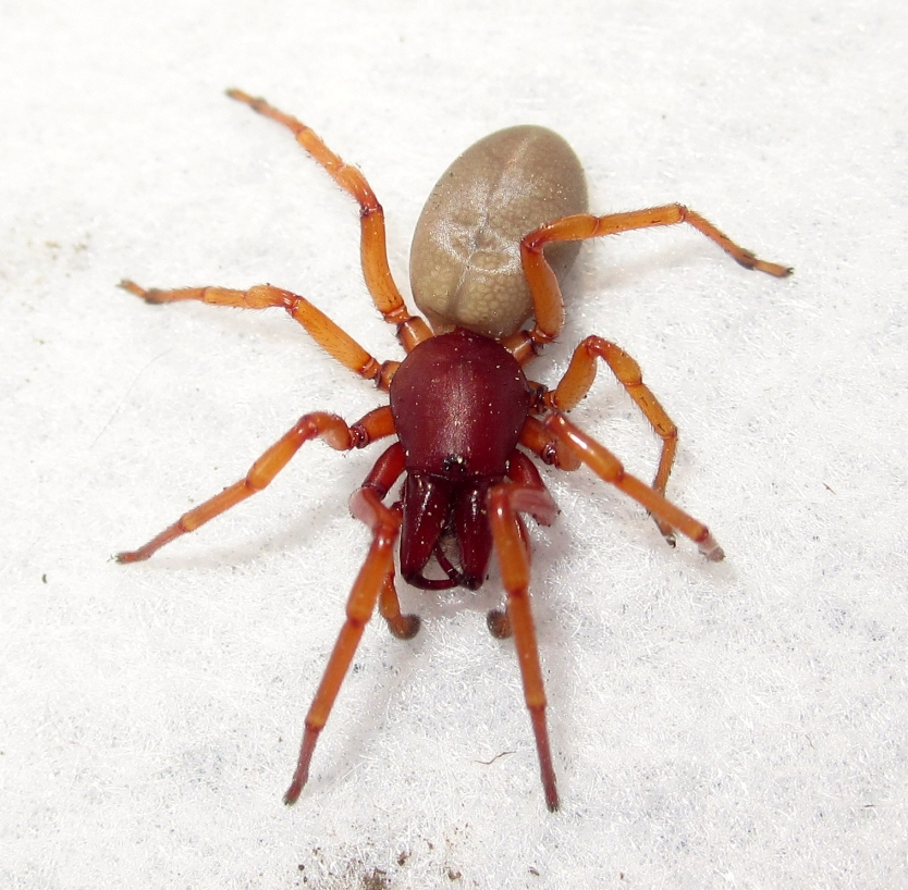 Orange and red spider on a white surface
