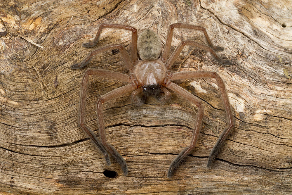 Flat-looking spider with very large legs sits on wood that is almost the same colour as it