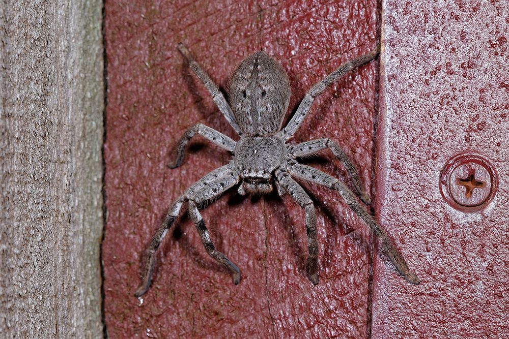 Large greyish furry spider on wood that has been painted red