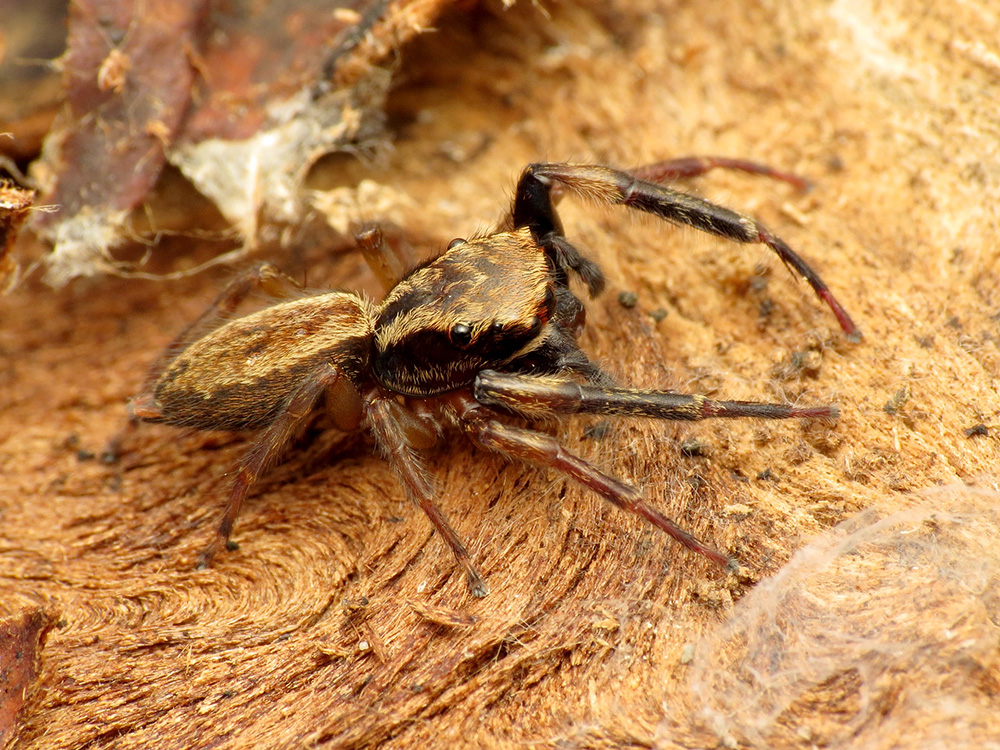 Gold and brown spider with large front legs sits on top of similar-coloured wood