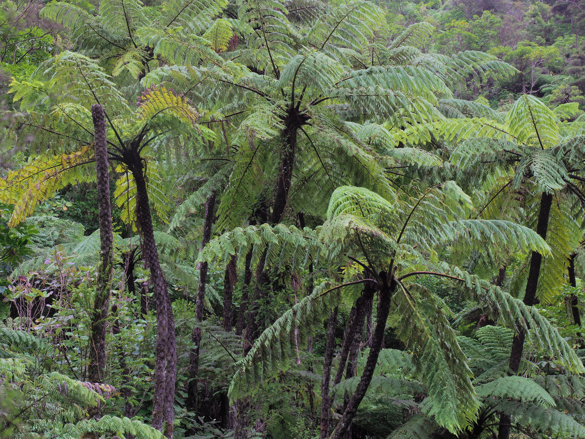 A group of large tree ferns with black trunks
