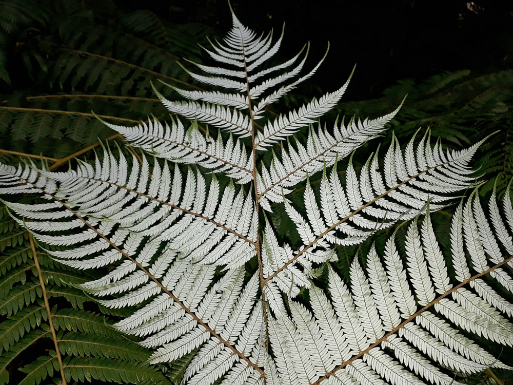 The underside of a fern - it's very pale/silvery compared to the top of the leaf