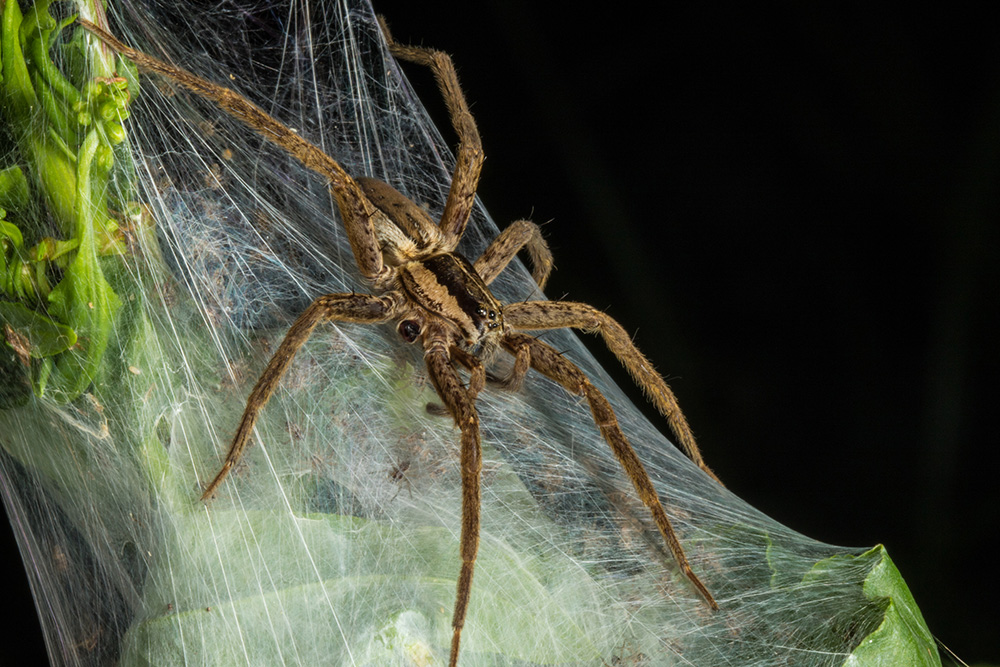 Spider sits atop a web that contains many small spiders, its offspring