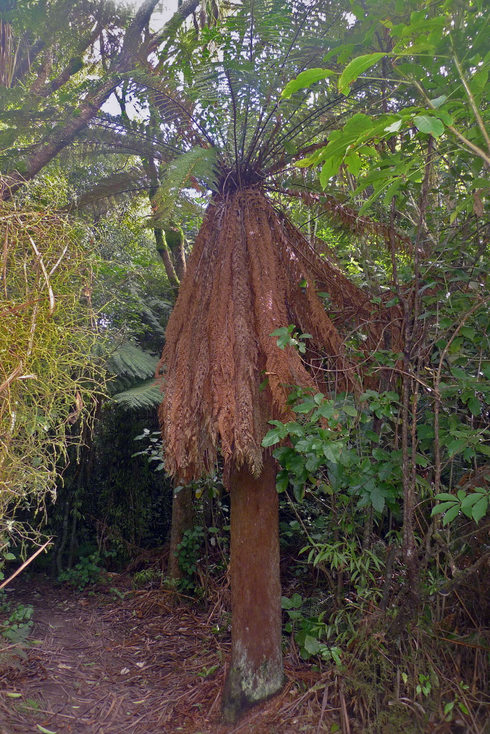 Tree fern with a full skirt of dead fronds