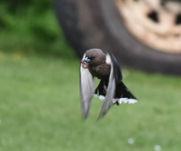 Close up of a bird in flight with a worm in its beak, behind can be seen a four-wheel drive tyre