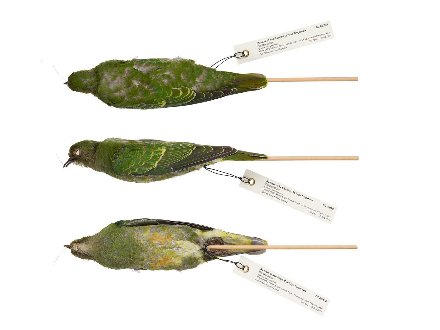 Composite image of three photos of the rose-crowned fruit-dove, showing its body attached to a stick for holding, with and identification tag attached to it