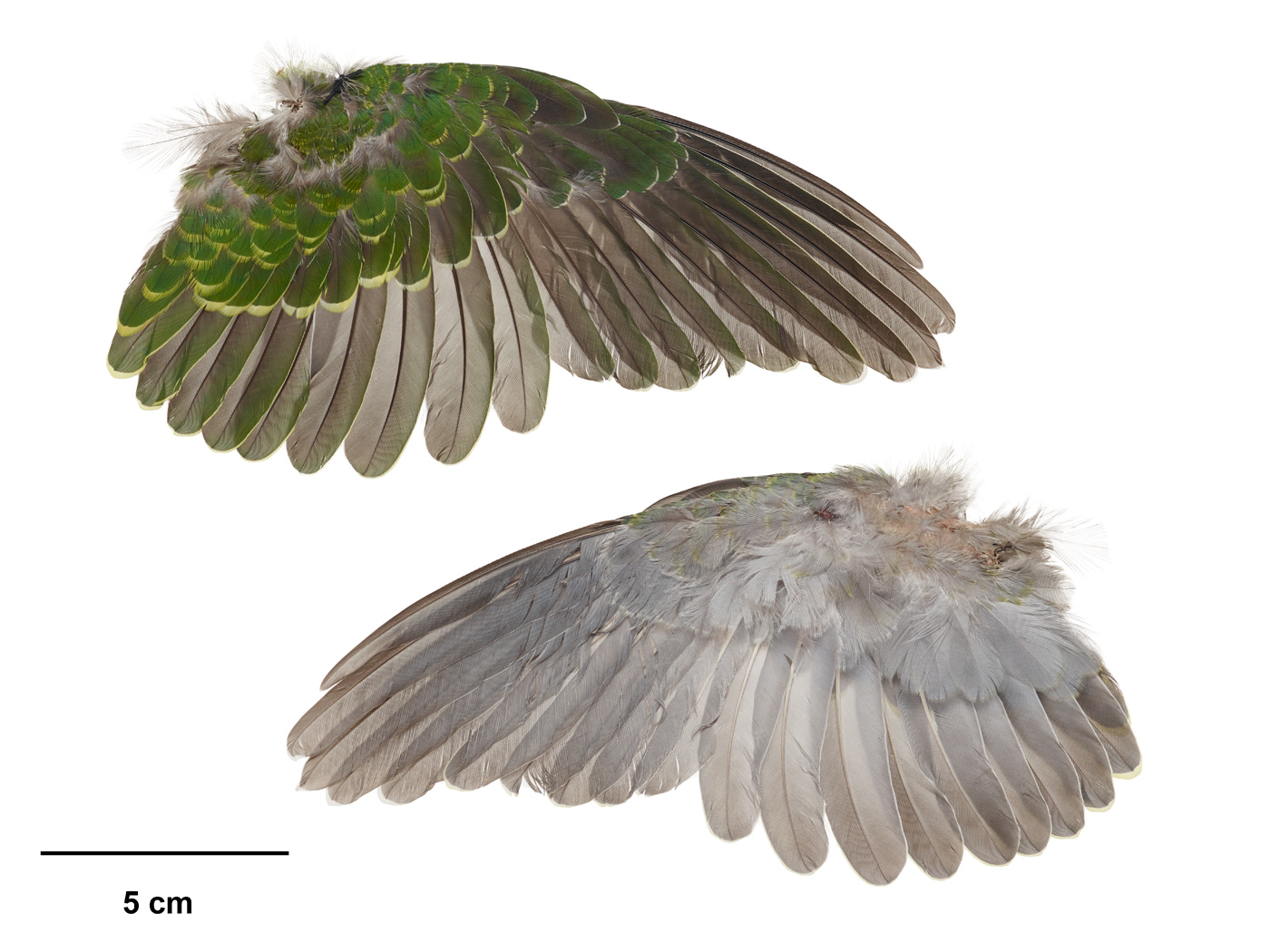 The wing of a rose-crowned fruit-dove. Its plumage underneath is grey, and on top it is half green and half grey