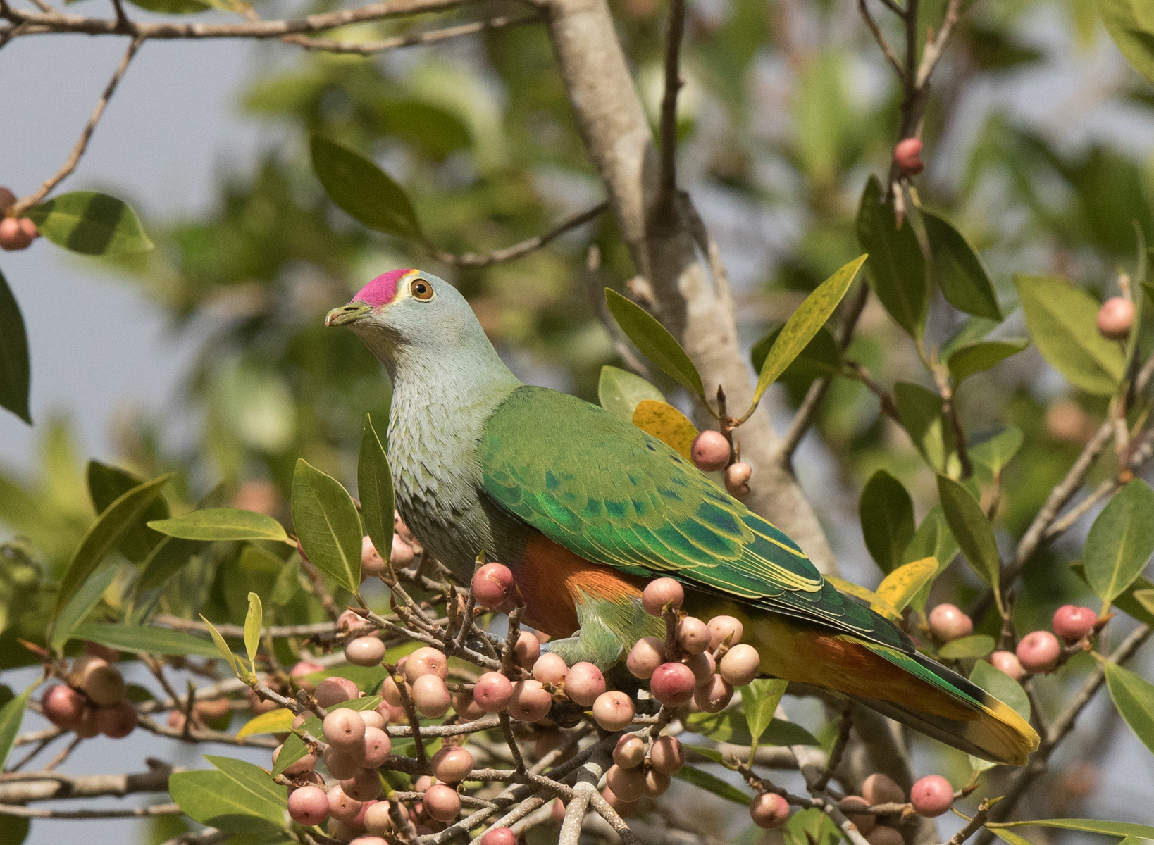 Bird with vibrant green plumage and pink across the top of its head in a tree
