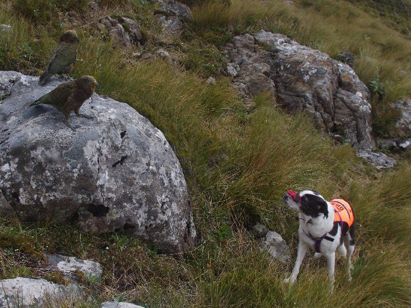 Two young kea sit on a rock above a black and white dog standing in the alpine grass. The dog is wearing pink muzzle and an orange high-visibility vest.