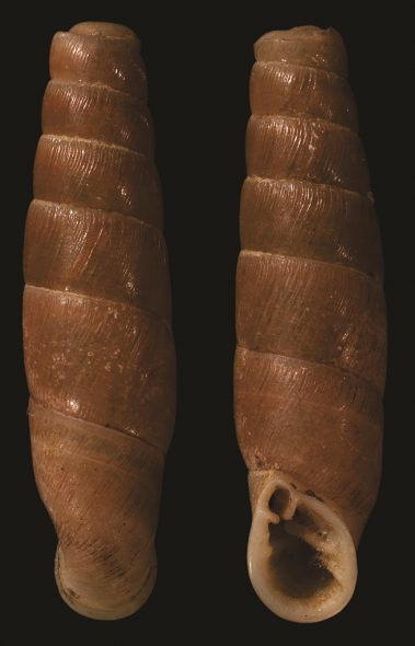 Colour photo of two long brown shells
