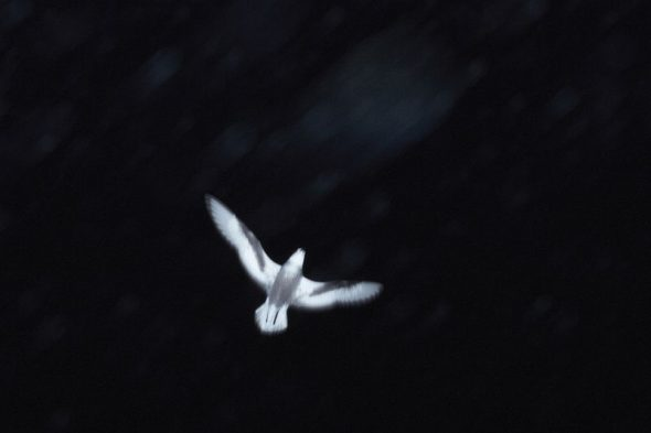 The underside of a white bird in flight against a black night sky.