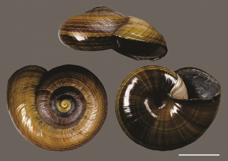 A photograph of three shiny brown snail shells