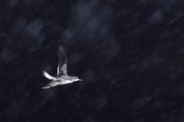 A side-on view of a grey bird flying against the night sky