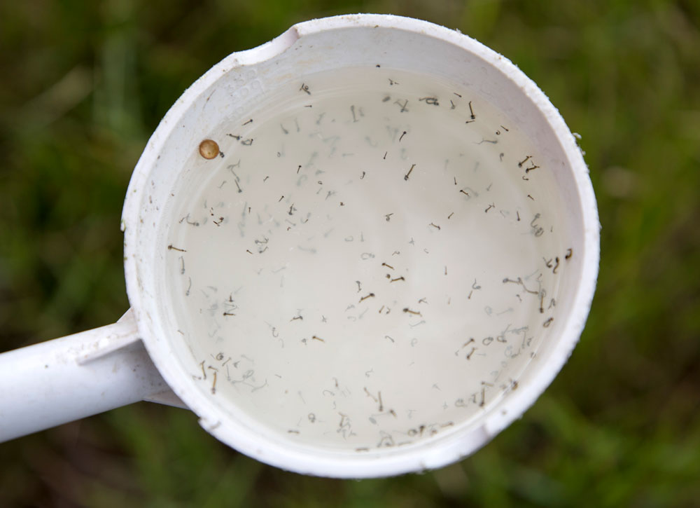 Looking inside a white bowl, with lots of mosquito larvae in it