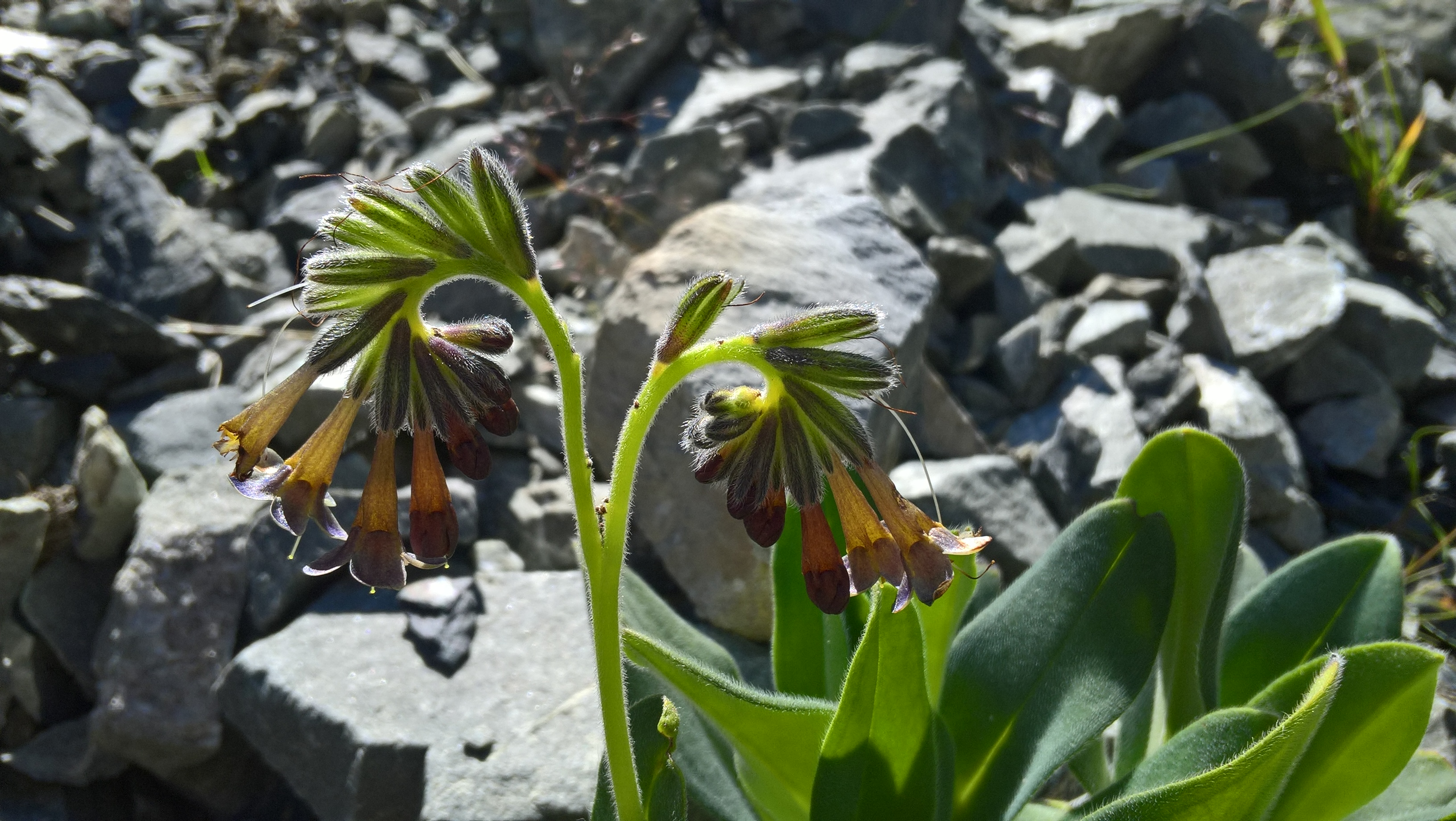 Close up photo of a flowering plant in the sun with rocks in the background