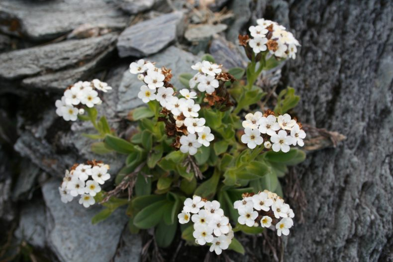 White flowers on green foliage on grey rock.