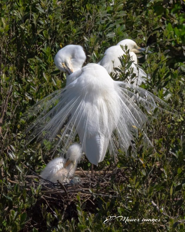Three white birds in a tree, one has its feathers spread out, and a chick in a nest