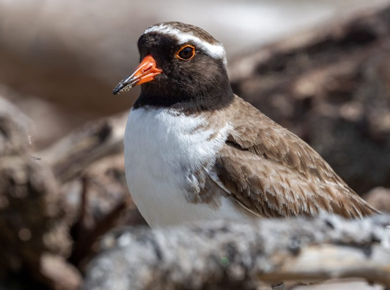 A closeup photo of a white-fronted bird with brown feathers and an orange beak.