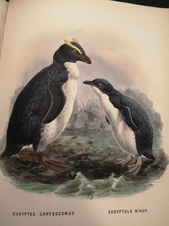 A page from a book with two penguins painted in the centre. One has yellow-crested eyebrows