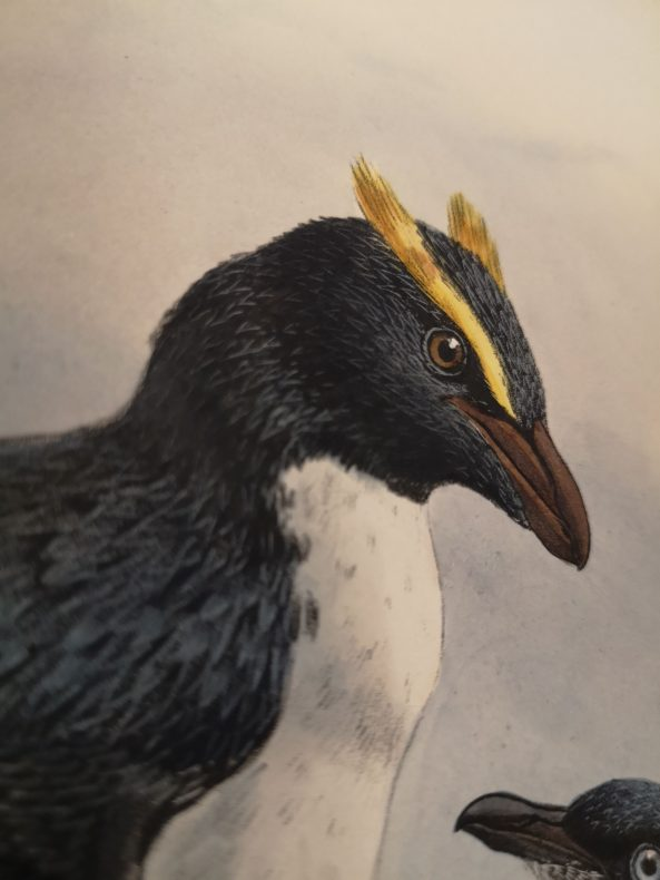 A painting of a penguin with yellow crested eyebrows and a white front.