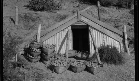 Black and white photo of a small hut with bags of kumara in front of it