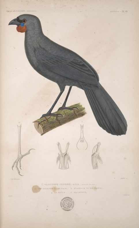 A painting of a grey bird with an orange and blue wattle, standing on a branch. There are pencil drawings below it.