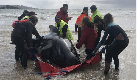 Ten people trying to move a pilot whale off the beach.