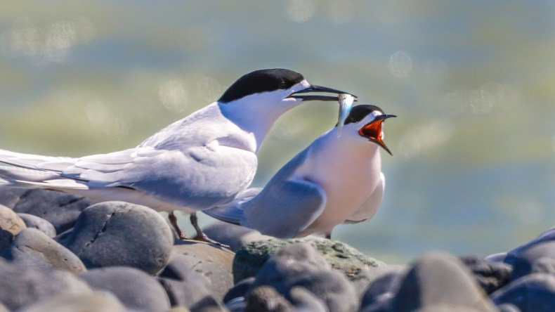 Two white-fronted birds with black on their heads and their beaks open. One has a small fish in its beak. There are rocks in the foreground.