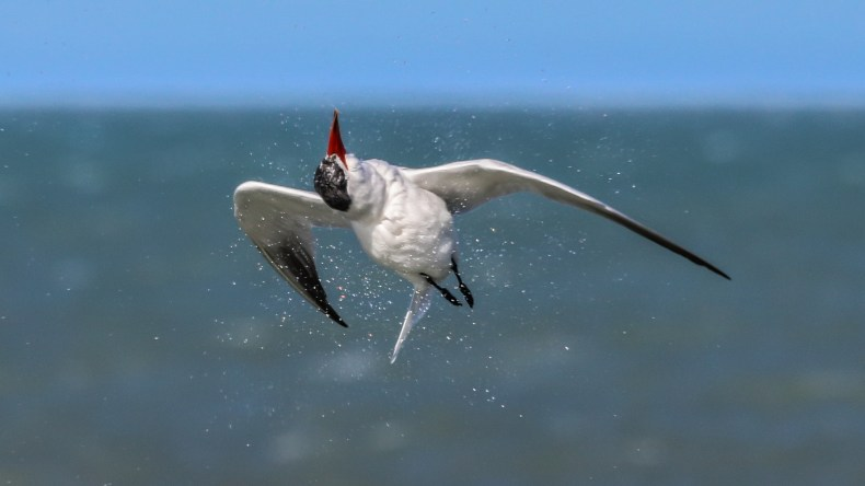 A white bird with a red beak shaking water off its feathers as it is flying. The background is blurry green sea and blue sky.