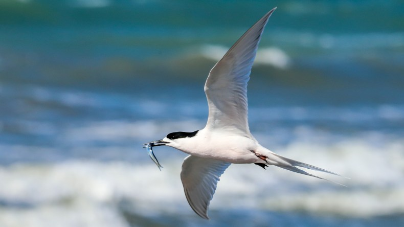 A white bird with a forked tail and black on its head is in mid-flight and has a small fish in its beak. The background is white waves and sea.