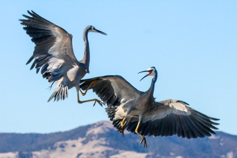 Two herons in flight and facing each other. The background is blue sky and a mountain in the distance.