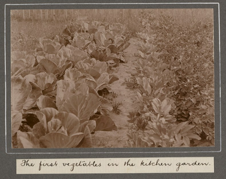 A sepia photo of rows of vegetables in a garden