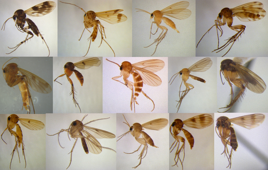 A collection of slides of 14 gnats in one image