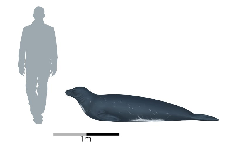 An illustration of a grey silhouette of a man walking and a side-on view of a seal lying down