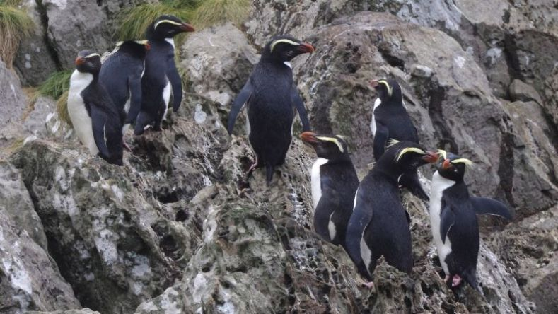 Eight penguins with yellow stripes at their eyes standing on rocks facing different directions