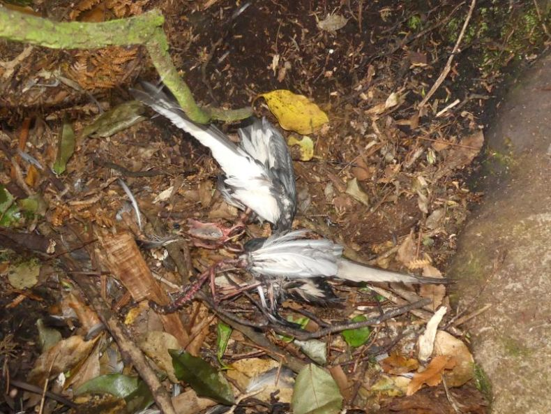 Two dead grey and white birds lying on brown leafy undergrowth.