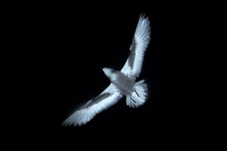 The underside of a bird flying at night with its wings spread