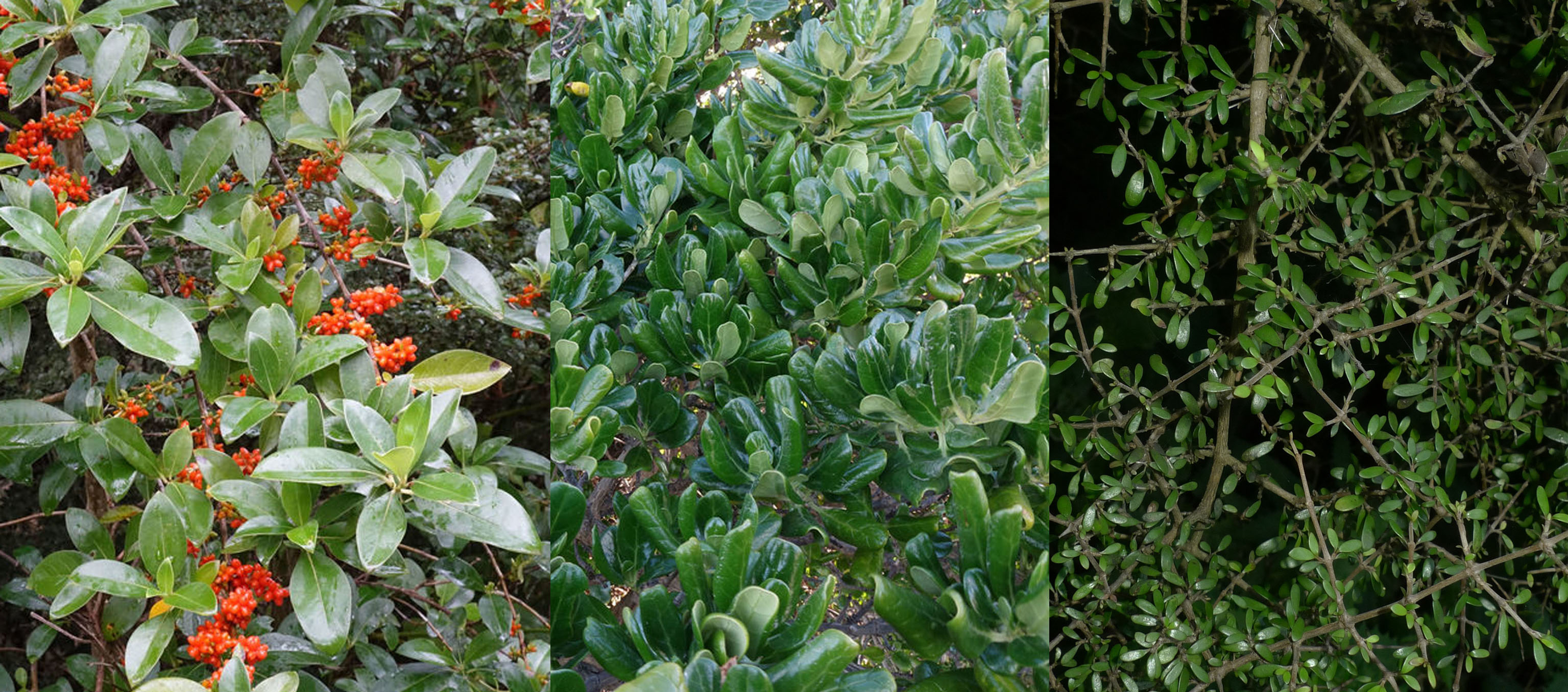 Three photos of green shrubs, the one on the left also has orange berries