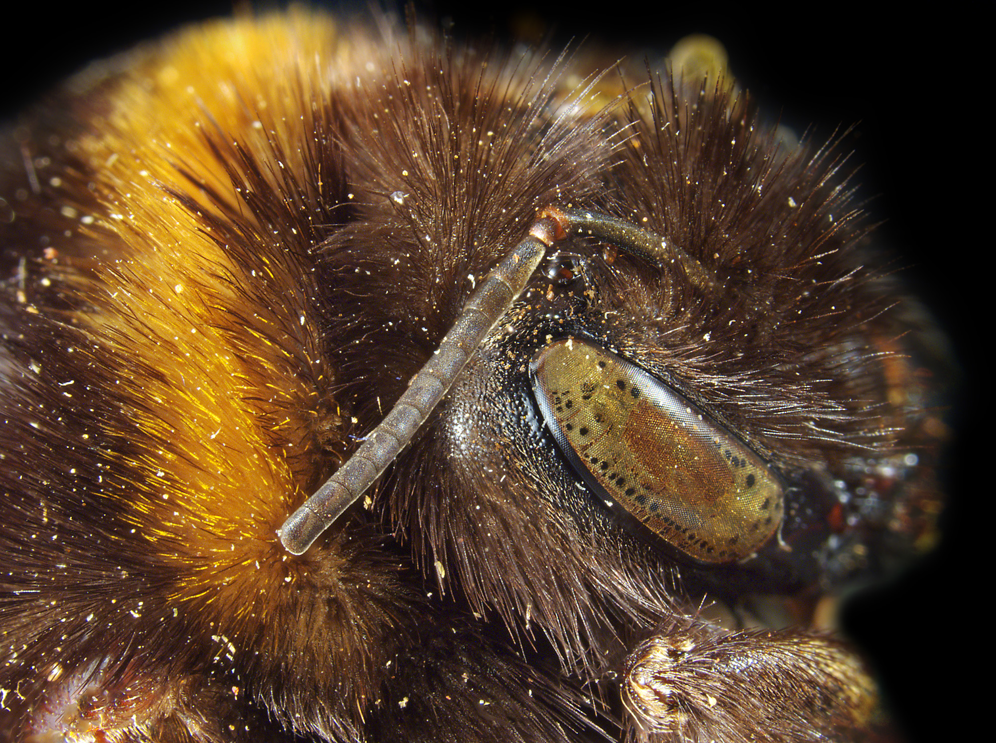 Close up of a bumble bee's head and antenna