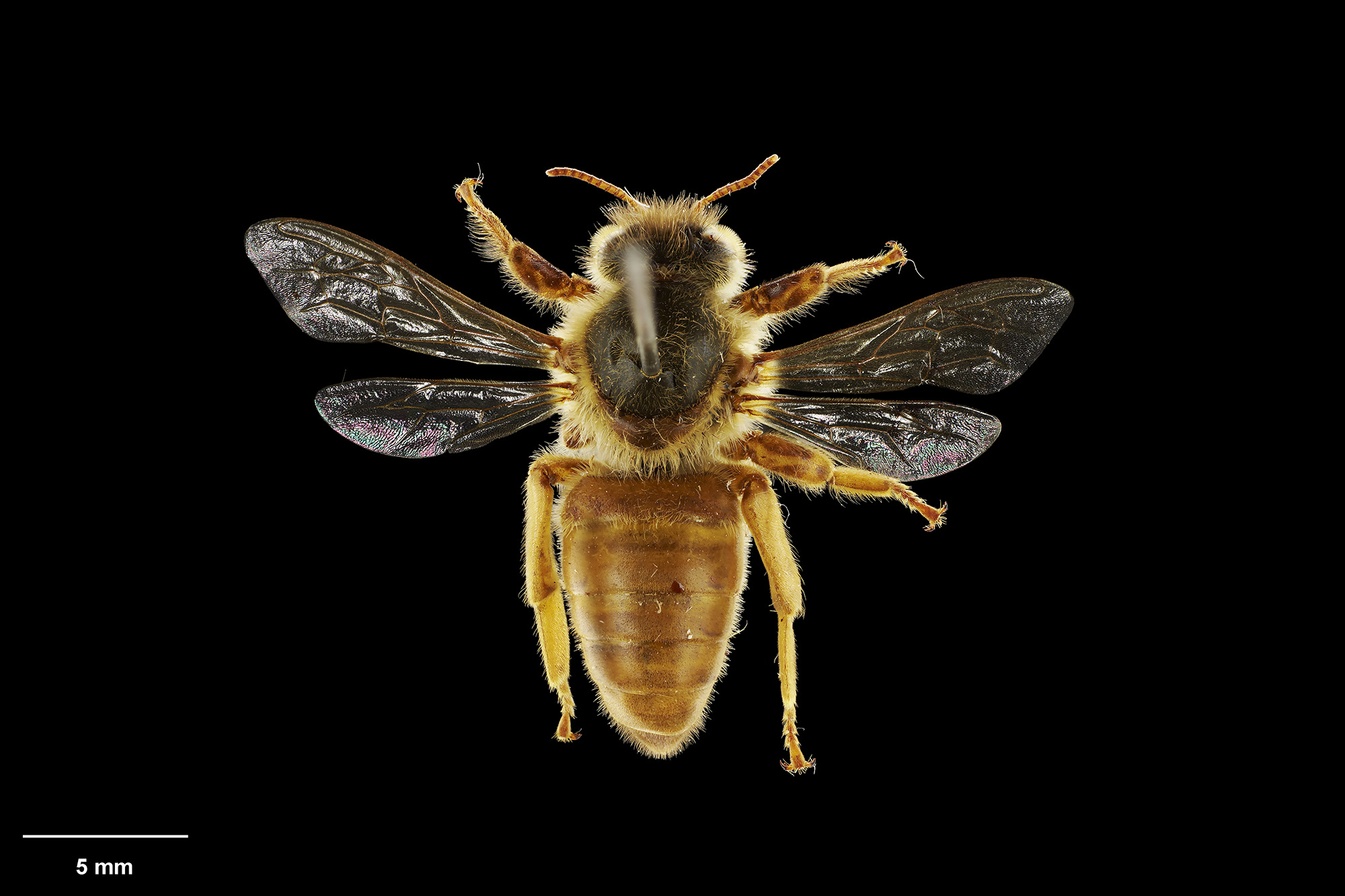 A pinned bee on a black background