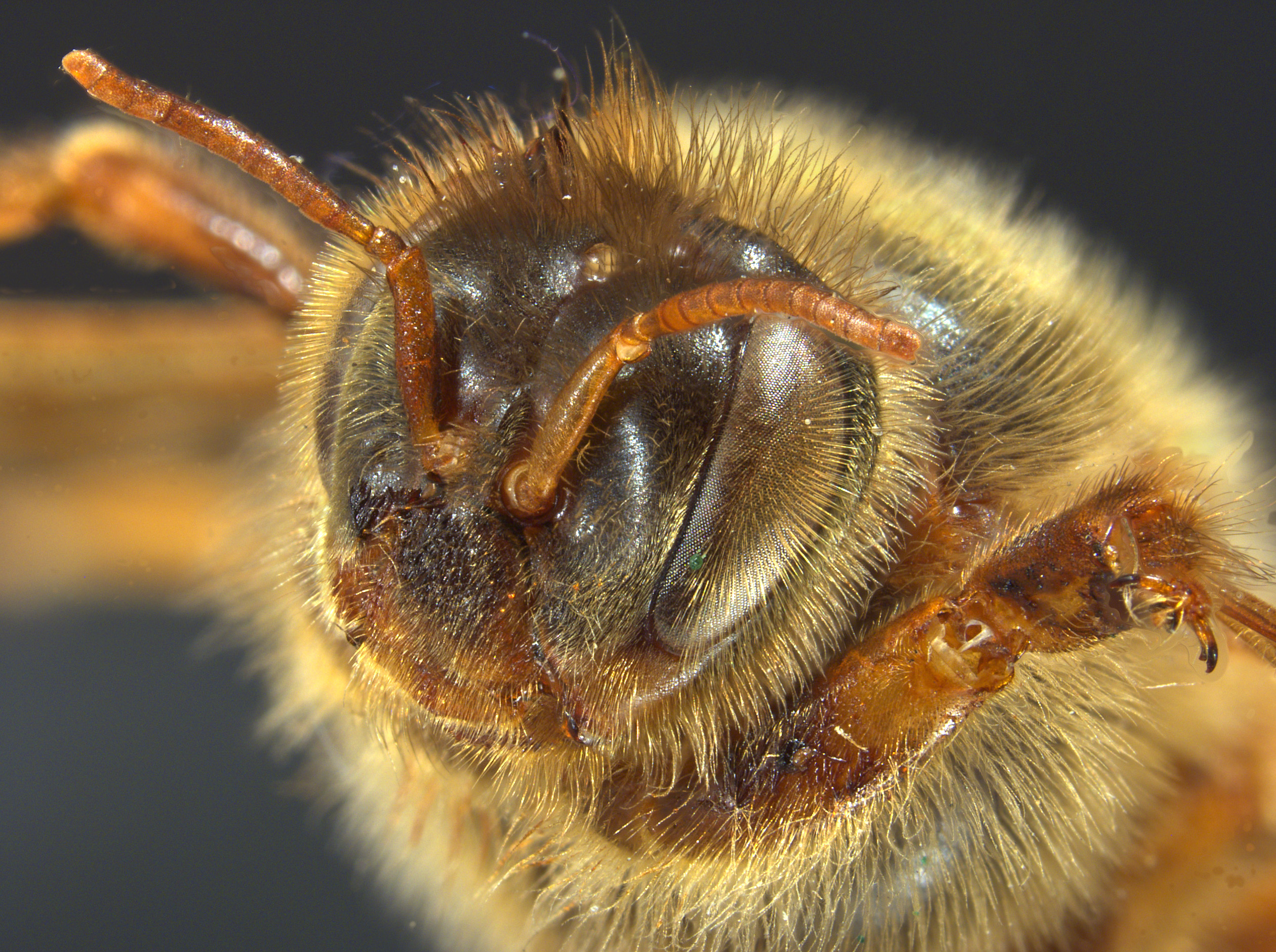 A close up of a pinned bee on a black background