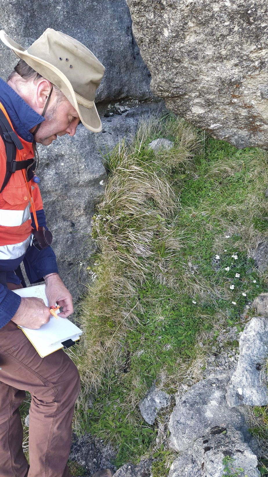 Mike Thorsen counting Myosotis saxosa plants SP110027 in the Maungaharuru Range, which is the stronghold for this threatened species. Dec 2020. Photo by Heidi Meudt @ Te Papa.