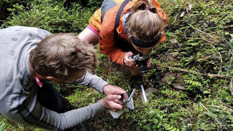 Cara-Lisa Schloots and Antony Kusabs checking out Myosotis venosa SP111281 near Charleston, Jan 2021. Photo by Heidi Meudt @ Te Papa.