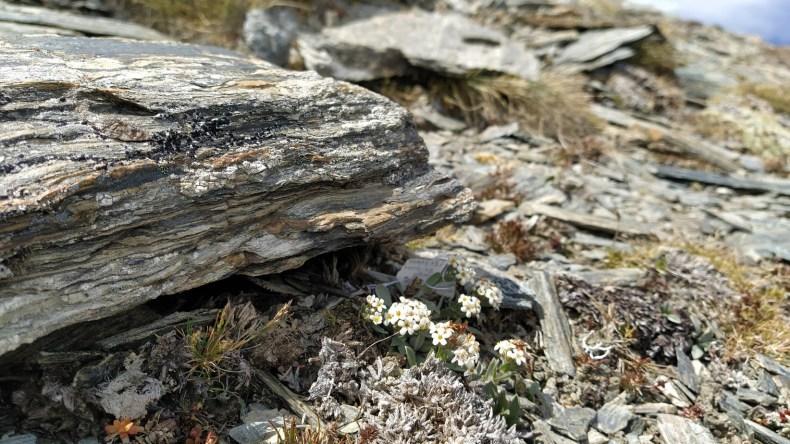 Myosotis oreophila SP111278, Dunstan Mountains, Jan 2021. Photo by Heidi Meudt @ Te Papa.