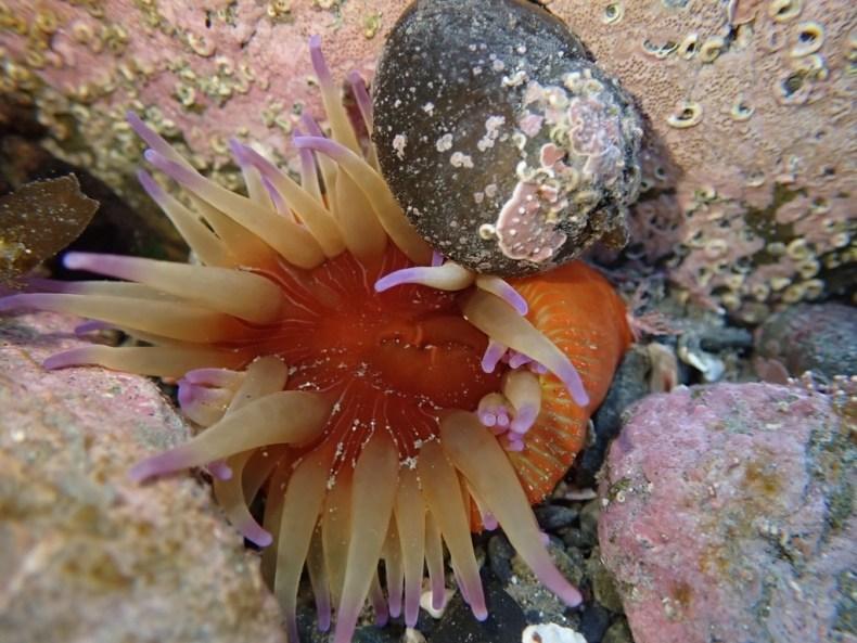 Sea anemone (Epiactis thompsoni). Photo by shaun_thompson, 2021, via iNaturalist. CC BY 4.0