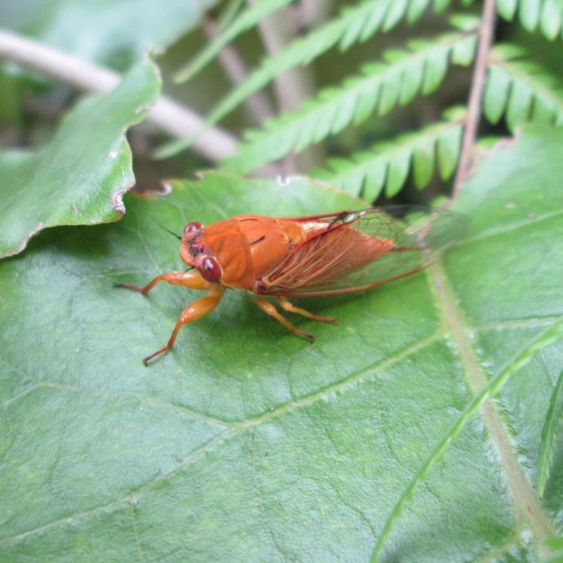 wild_wind photographed this cicada (Kikihia) in vivid orange rather than the typical green, 2021, via iNaturalist. CC BY 4.0