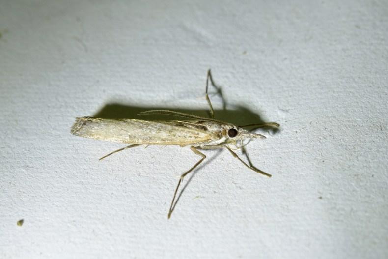 Moth, (Orocrambus cyclopicusis). Photo by christopherstephens, 2021,  via iNaturalist. CC BY-SA 4.0